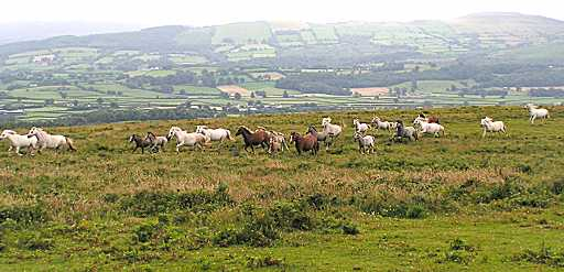 The Hope Herd running in their natural environment above the Towy Valley